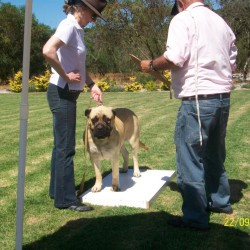 LaGratitude Good Luck Charm of Chizelhurst performing her Character & Breed Assessment (CBA or BA)